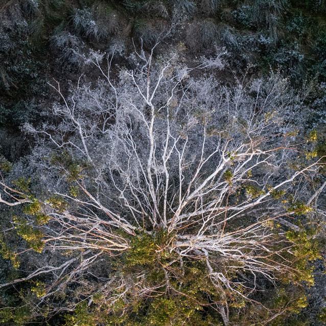 Balti medžiai